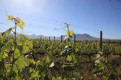 Spier vinmark i Sydafrika  My Pleasure