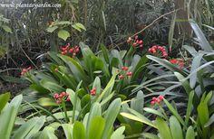 Clivia miniata, una herbácea perenne que florece en la sombra. Además su atractiva flor naranja sus frutos también son decorativos