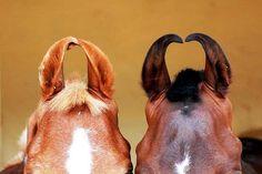 Marwari  ears - looks like mares, stallions & geldings have smaller ears than mares do.