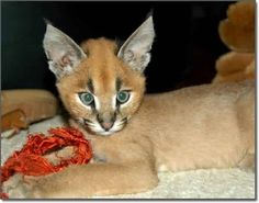 Look At These Caracal Kittens Baby Caracal, Caracal Kittens, Lynx, Manecoon Cat, Baby Animals, Cute Animals, Wild Animals, Animal Babies, Cat Whisperer