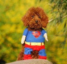 Aww how adorable! Doggy Superman Outfit, up for auction in the Pets room!