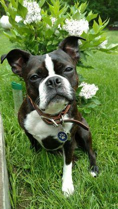 Holley, the floppy eared Boston Terrier.