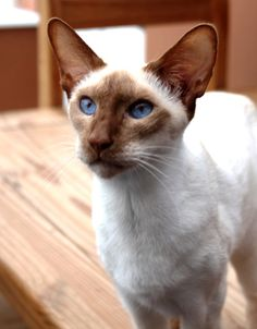 "cinnamon point Siamese (apparently the Cat Fancier's Association insists on ""Oriental Shorthair"" for these cats, not ""Siamese."")"