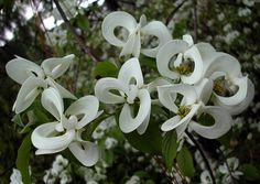 Bellezze rare: Cornus florida subspecies urbiniana