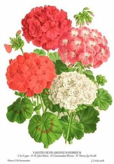Botanical art by Linden of Bouquet of Pelargoniums