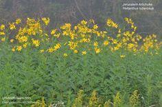 Jerusalem Artichoke, Jerusalem Sunflower, Sunchoke, Girasole