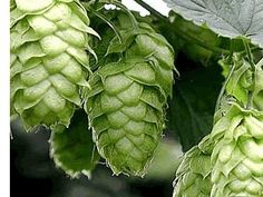 aromatic Hops - to climb the fence