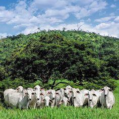 Há pouco mais de 100 anos entraram no Brasil apenas 6.262 exemplares de zebu vindos da Índia. Hoje, cerca de 80% do rebanho têm sangue zebuíno, o que demonstra a importância econômica e a capacidade de adaptação dessas raças à realidade da pecuária brasileira.  #PecuariaBrasileira #Abcz #Zebu #Pmgz #Pecuaria #nelore #Brahman #tabapua #guzera #GadoZebu #Desenvolvimento