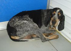 #KENTUCKY #URGENT ~ Eve was picked up as a stray found with a male bluetick that'd been hit by a car. He didn't make it & poor Eve is very traumatized. She has lost her buddy, is in a strange place & spent all day in the same spot. A sweet girl who'll let you pet her.  She will be off stray hold and available on 12-23-13 if  not reclaimed. OHIO COUNTY ANIMAL SHELTER 1802 Country Club Lane #Hartford KY 42347 ocanimalshelter@yahoo.com Ph 270-298-4499