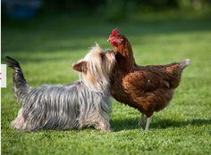 Chicken, meet Yorkie