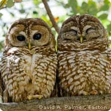 Northern spotted owls depend on old-growth forests, that typically take 150 to 200 years to mature! #wildlifeweek