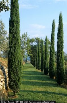 ~ A line of cypress