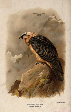 A_bearded_vulture_(Gypaetus_barbatus)._Chromolithograph_by_W_Wellcome_V0022224.jpg (2125×3333)