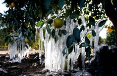 Icicles form in an orange grove in Redlands, Calif. on January 15, 2013. A cold snap had farmers struggling to protect a USD 1.5 billion citrus crop.