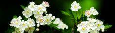 Magic Blossom Flowers Header