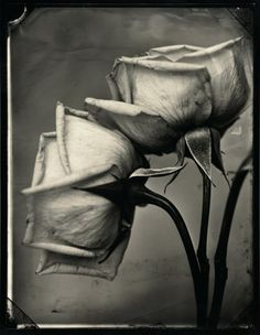 Tom Baril - Two Roses, 2002.