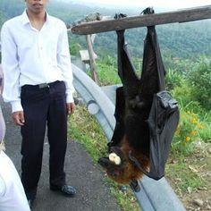 Curiosidades del Mundo: El murciélago más grande del Mundo: el Zorro volador filipino.