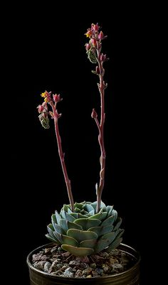 Succulent Plant With Stalks of Flowers and Buds