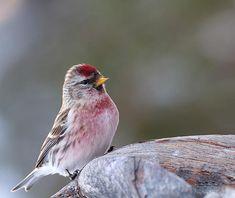 Utpräglad flockfågel, hörs ofta kvittrande när de anländer vid fågelborden. Foto: Gunilla Falk