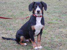 Oscar Entlebucher Sennenhund | Pawshake