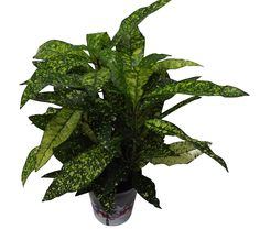 Luxury Christmas Croton Plant Gift - Potted plant with Christmas Pot Cover -Delivery in first week of December or Before - A stunning gift that will last for more than just Christmas - Ideal alternative to Christmas Cards - Create the perfect gift combination - Variety of Christmas Pot Cover options - Gift wrap available - Codiaeum. (1, Christmas Baubles)