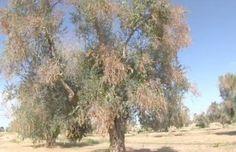 Xylella, D'Amato (M5S): gli ulivi malati sono solo l'1,8 per cento. Numeri non giustificano le misure estreme del governo