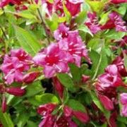 Weigela 'Bristol Ruby' (Weigela 'Bristol Ruby') Click image to learn more, add to your lists and get care advice reminders  each month.