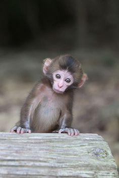 I am so obsessed with monkeys I want one so bad!!!! <3 they are adorable :*
