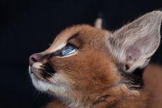 這應該是世界上「最可愛」的貓種,萌到連埃及都將他變成文字了!% 照片