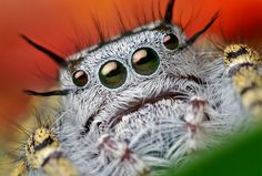 The jumping spider family contains more than 500 described genera and about 5,000 described species, making it the largest family of spiders with about 13% of all species. Photo by: Thomas Shahan