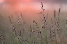 Grasses in the morning