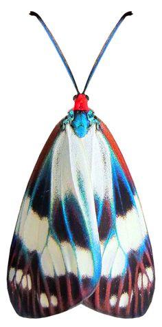 Chalcosia thaivana owadai