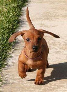 Free Dog Training Basics: http://tipsfordogs.info/90dogtrainingtips/ | Miniature #Dachshund Puppies Pictures