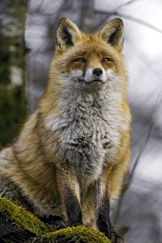 https://flic.kr/p/EWLLS1   Another one of the posing vixen   Next picture of the cute vixen, she was posing very well!
