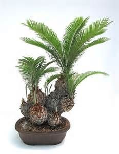 Bonsai is a great form of gardening for city dwellers, but not many species are adapted to live indoors. Bonsai Tree Care, Bonsai Art, Bonsai Plants, Bonsai Garden, Garden Plants, House Plants, Bonsai Trees, Mini Bonsai, Indoor Bonsai