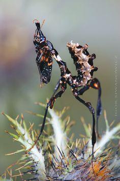 Idolomantis diabolica L2: Photo by Photographer Igor Siwanowicz