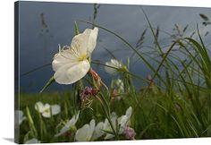 An evening primrose in bloom