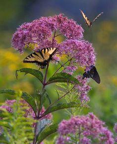 Joe Pye Weed with Butterflies.