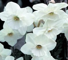 A perfectly symmetrical and beautifully proportioned flower with a dazzling white shade. 'Stainless' is one of our best-selling Daffodils, and rightly so. Late.
