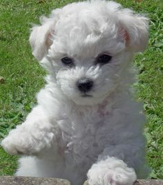 bichon Frise cute puppy