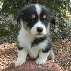Pembroke Welsh Corgi puppy.  It looks like Taylor when she was a puppy!!