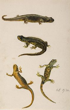 This is an image of Beatrix Potters watercolour titled Molge vulgaris, Linn, smooth or common newt