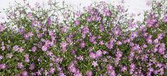 Slik steller du brudeslør | Stelletips fra Mester Grønn Plants, Pink, Plant, Planets