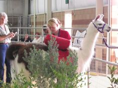 Melanie showing Princess during the Pack portion of the Llama Show, 2009