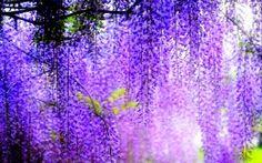Обои Глициния Фиолетовый Цветы
