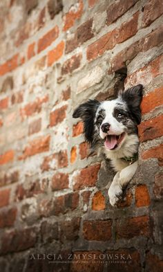 Border Collie in a Wall