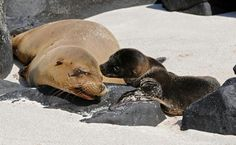 Sea lion pups and their mom communicate through special vocalizations so that they identify one another.