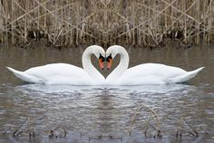 Rodney can shapeshift, so he can turn into a swan, and Kate's father is a son of Apollo. One of Apollo's sacred animals is a swan, so Kate can turn into a swan as well. Swan Love, Beautiful Swan, Beautiful Birds, Animals Beautiful, Simply Beautiful, Animals And Pets, Funny Animals, Cute Animals, Wild Animals