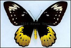 Ornithoptera Goliath Ukihidei -Female -Yapen Island, Papua, Indonesia in wingspan). Butterfly Painting, Butterfly Crafts, Vintage Butterfly, Most Beautiful Butterfly, Beautiful Bugs, Cover Pics For Facebook, Moth Caterpillar, Butterfly Pictures, Largest Butterfly