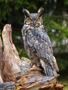Great Horned Owl Art Print by Craig Brown. All prints are professionally printed, packaged, and shipped within 3 - 4 business days. Choose from multiple sizes and hundreds of frame and mat options. Owl Photos, Owl Pictures, Animals And Pets, Cute Animals, Great Horned Owl, Beautiful Owl, Bird Sculpture, Owl Print, Big Bird